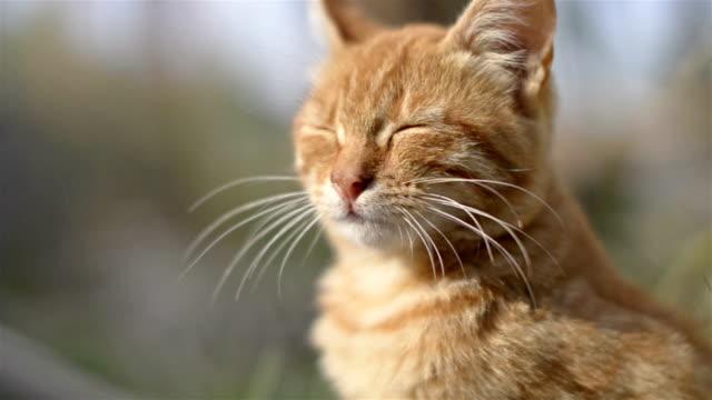 黄色猫ます。 ビデオ