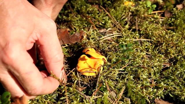 yellow chanterelles - höst plocka svamp bildbanksvideor och videomaterial från bakom kulisserna