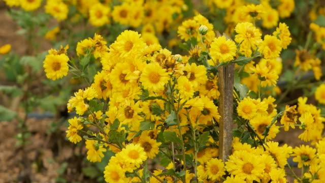 Yellow Chrysanthemum flowers in the garden.