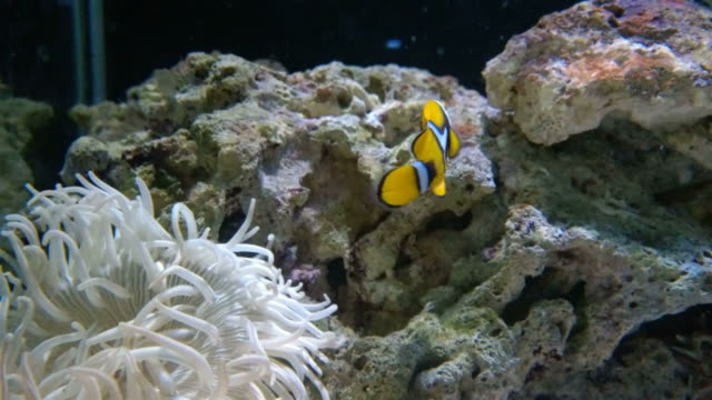 yellow clown fishes swimming video
