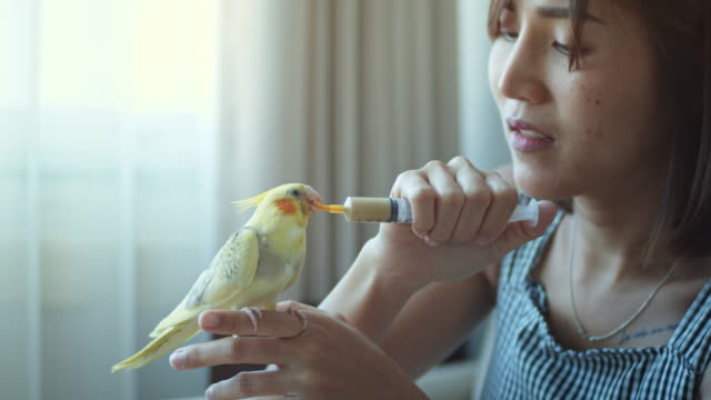 Yellow cockatiel bird eats liquid food with a syringe from a woman's hand