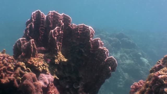 Yellow corals underwater in ocean of wildlife Philippines.
