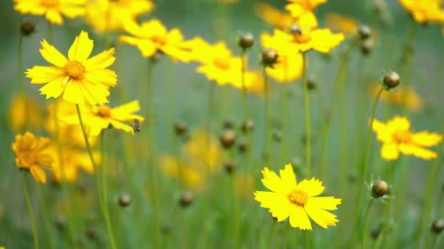 yellow coreopsis flower. - coreopsis lanceolata video stock e b–roll