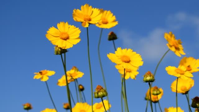 yellow coreopsis flowers on blue sky background - coreopsis lanceolata video stock e b–roll