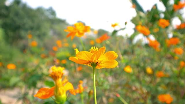 yellow Coreopsis swing in the wind in hangzhou park 4k