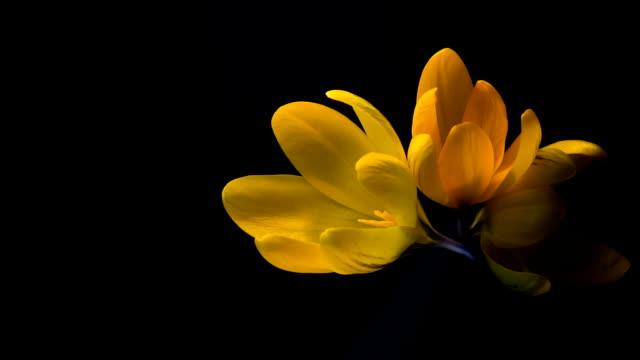 Yellow crocuses bloom. Time lapse in studio video
