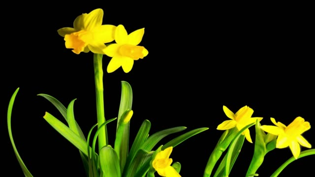 Yellow daffodil blossom, time-lapse with alpha channel