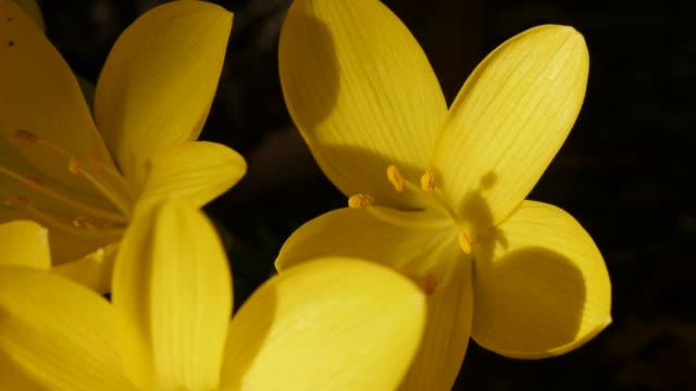 vídeos de stock, filmes e b-roll de flor de daffodil amarelo rasa dof 4k - flor temperada