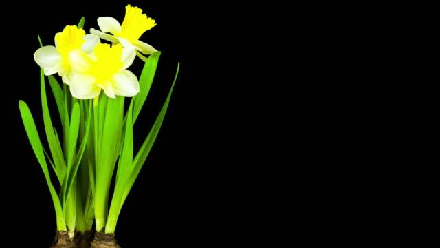 Yellow Daffodil; TIME LAPSE video
