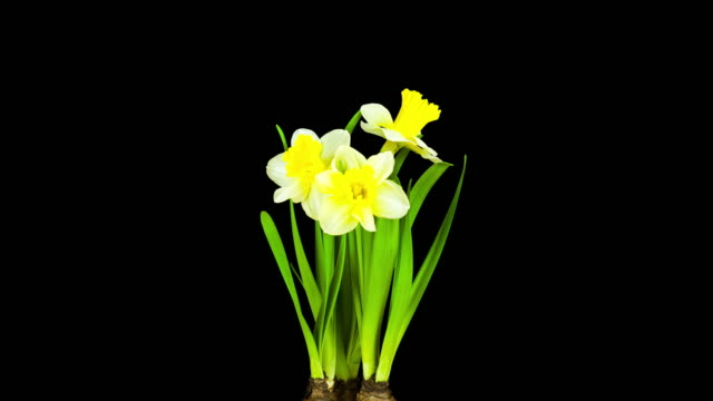 Yellow Daffodil; TIME LAPSE video