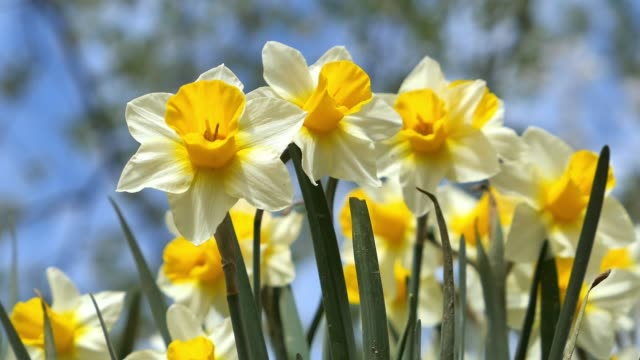 Yellow daffodils, Narcissus pseudonarcissus