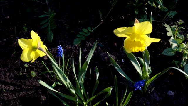 Yellow daffodils sway in the wind video