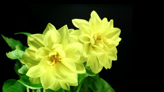 Yellow dahlias blooming HD, Pal and NTSC video