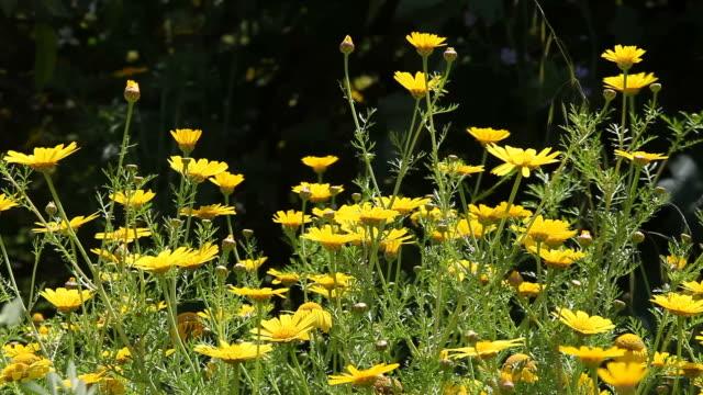 Yellow daisy field video