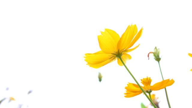 4k: gul tusensköna fält - blommönster bildbanksvideor och videomaterial från bakom kulisserna