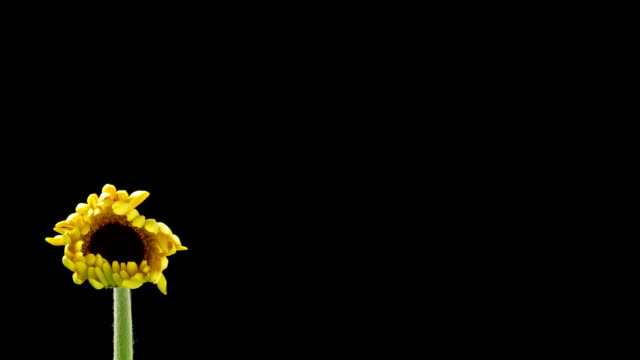Yellow Daisy Time Lapse video