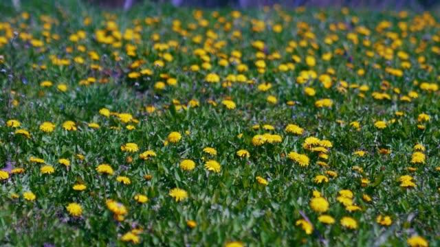 Yellow dandelion flowers growing in meadow.