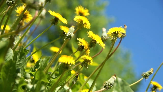 yellow dandelion in a grass video