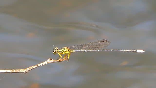 Yellow dragonfly landing on branch at waterfall. video