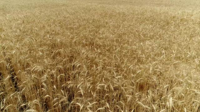 yellow ears wheat sway in the wind, the background field of ripe ears of wheat, harvest, wheat growing on field, aerial view, view from above, air, fullhd, video - orzo video stock e b–roll