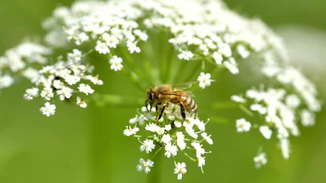ett gult fettbi ovanpå blommorna i estland - pollinering bildbanksvideor och videomaterial från bakom kulisserna