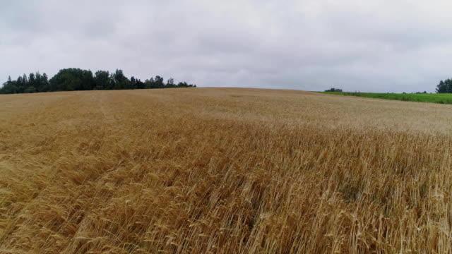 vídeos de stock e filmes b-roll de yellow field drone flight, agriculture farm, farming, aerial landscape, sky - multicóptero
