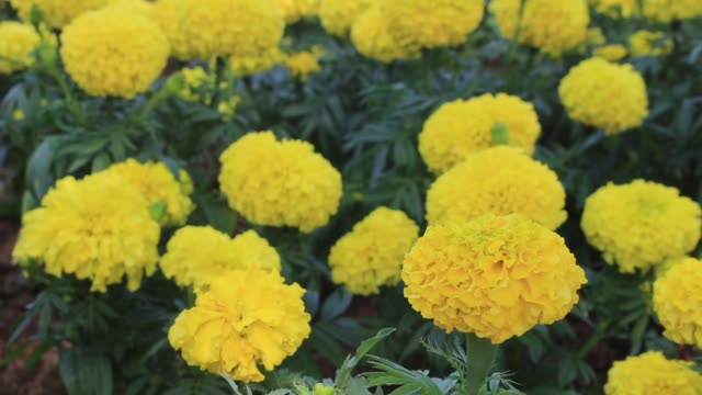 Yellow Field Of Marigold Flowers In Springtime video