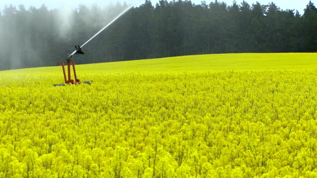 Yellow field with oil seed rape video