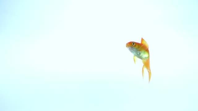 vídeos de stock, filmes e b-roll de nada de peixe amarelo com fundo azul claro isolado - aquário edifício para cativeiro animal