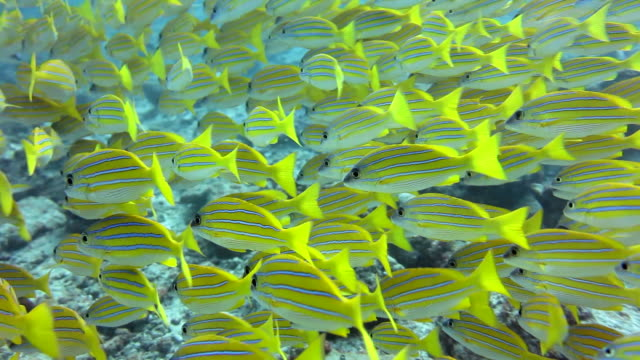 Yellow Fishes School of yellow fishes swimming in the sea arround corals. Underwater shot. fish stock videos & royalty-free footage