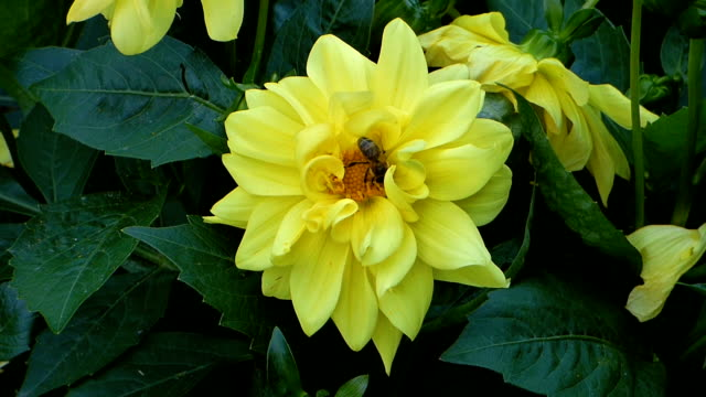 yellow flower among green leaves with bee on it - ape operaia video stock e b–roll