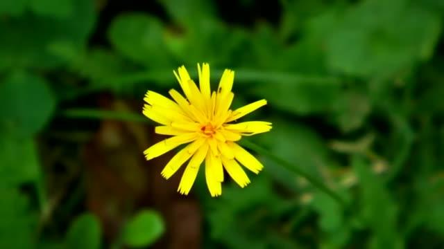 vídeos de stock, filmes e b-roll de flor amarela e um fundo desfocado, verde - sem cultivo
