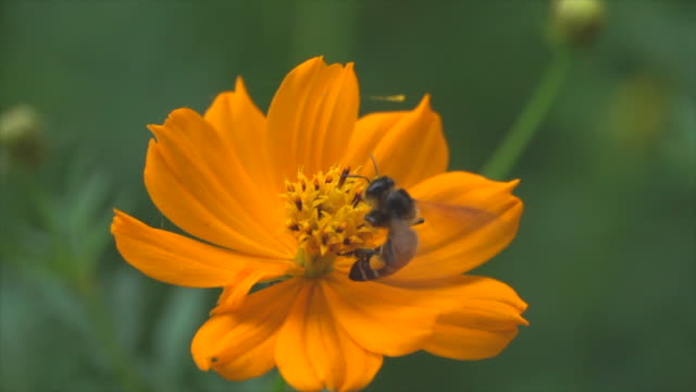 yellow flower and bee slow motion - ape operaia video stock e b–roll