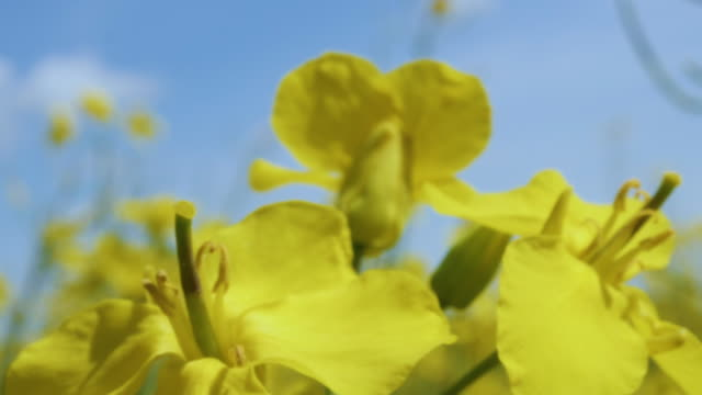 yellow flower blossom rapeseed canola agriculture field. beautiful blooming rapeseed field blue sky in springtime. slow motion. close up of yellow flowers of rape on canola background blue sky. - капустные стоковые видео и кадры b-roll