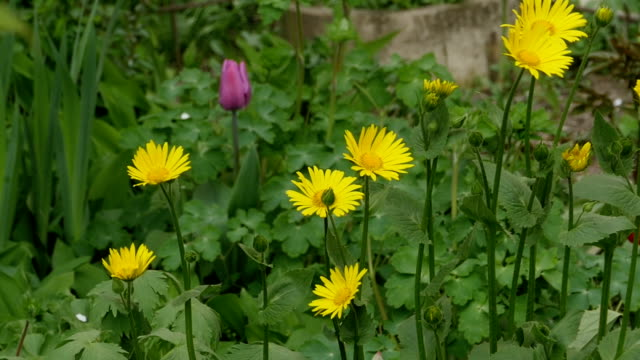 yellow flower doronicum - orticoltura video stock e b–roll