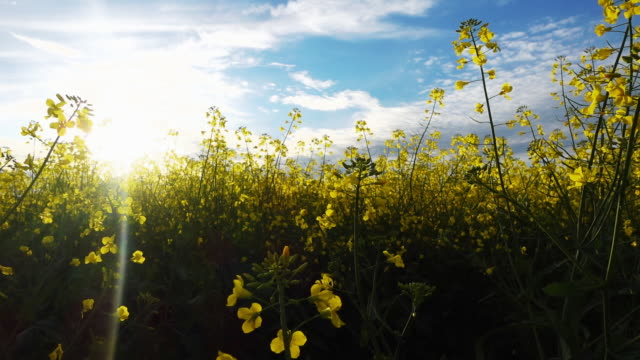Yellow flower field at sunny day. video
