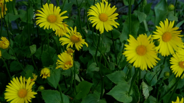 yellow flower flutters in the wind - orticoltura video stock e b–roll