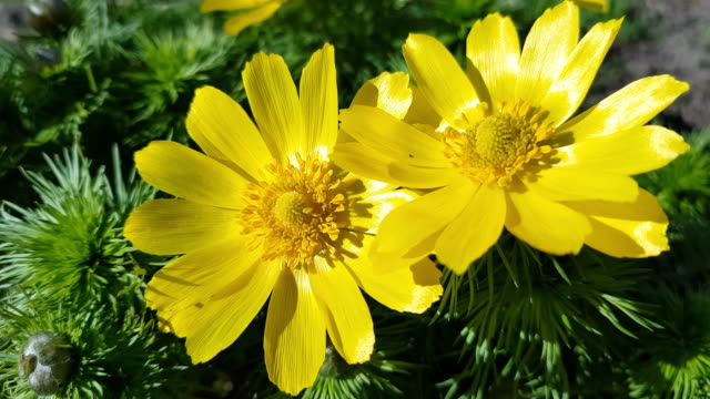 Yellow flower growing on a nature background. video