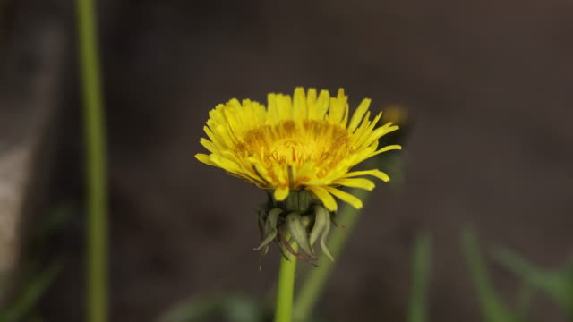Yellow Flower head of dandelion disclosed early in morning. Time-lapse Spring scene in partly cloudy day video