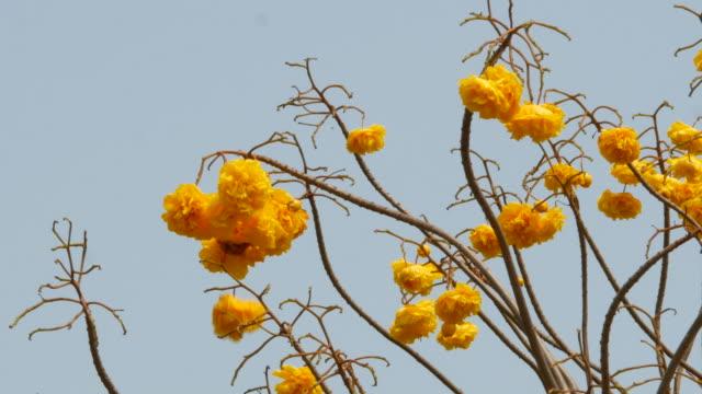 yellow flower on tree, Yellow Cotton Tree ,falling down video
