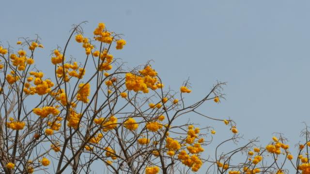 yellow flower on tree, Yellow Cotton Tree , panning shot video