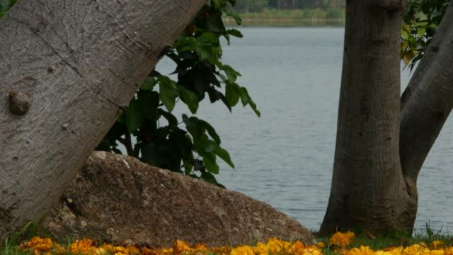 yellow flower on tree, Yellow Cotton Tree , tilt up shot video