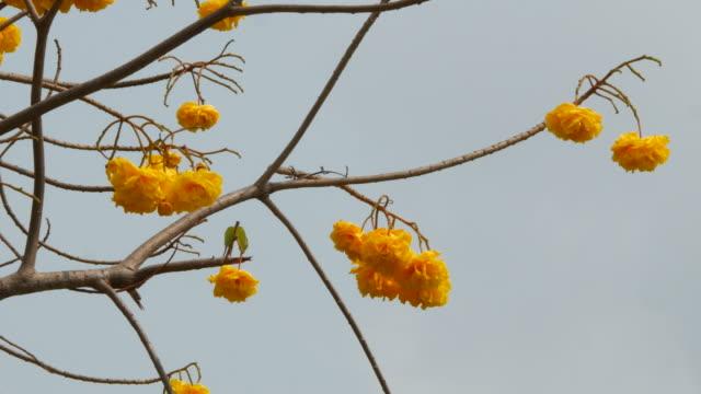 yellow flower on tree, Yellow Cotton Tree video