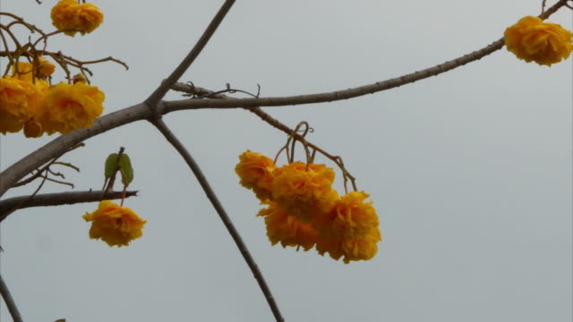 yellow flower on tree, Yellow Cotton Tree , zoom in video