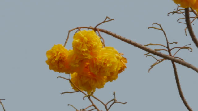 yellow flower on tree, Yellow Cotton Tree, zoom out video