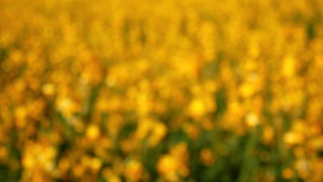 vídeos y material grabado en eventos de stock de flor amarilla de balanceo - manzanilla