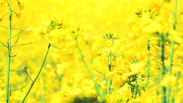 Yellow flowering rape field video
