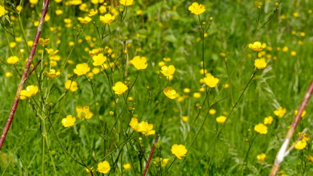 yellow flowers  buttercup - stame video stock e b–roll