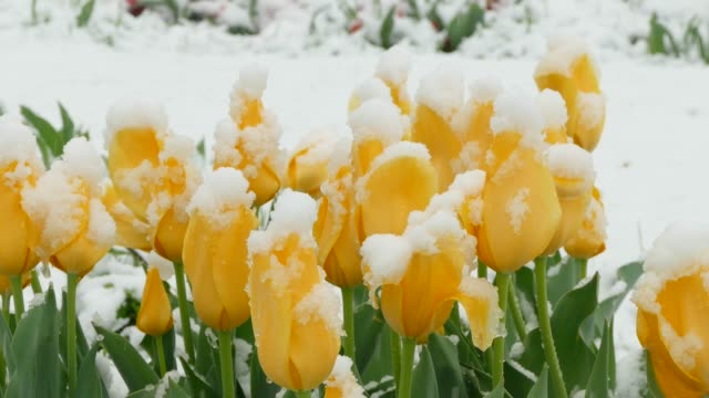 Yellow flowers freeze during a snowfall video