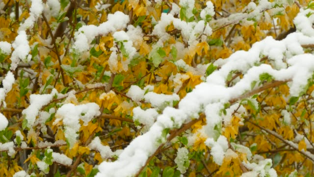 Yellow flowers freeze under the snow video